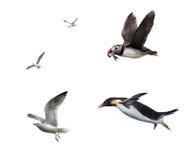 Flygfåglar: seagull puffinn, pingvin Fotografering för Bildbyråer