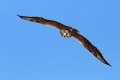 Flygfalk med skogen i bakgrunden Lanner falk, fågel av rovet, djur i naturlivsmiljön, Tyskland Fågel i fligten royaltyfri fotografi