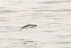 Flygfisken i Maldiverna är som pilar för vattenfel Royaltyfria Foton