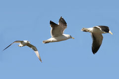 flygfiskmås arkivfoton