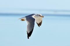 flygfiskmås Royaltyfria Bilder