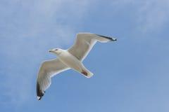 flygfiskmås Royaltyfri Fotografi