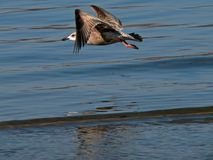 flygfiskmås Royaltyfri Bild