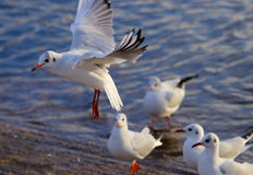 Flygfiskmås Arkivfoto