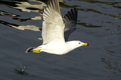 Flygfiskmås Royaltyfri Foto