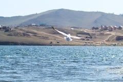 Flygfiskmåsar på Lake Baikal Royaltyfria Bilder