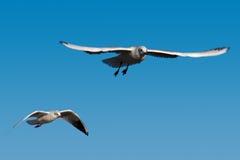 flygfiskmåshav Arkivbilder