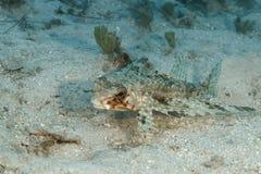 FlygGurnard som vilar på en Sandy Bottom - en Bonaire Royaltyfri Bild