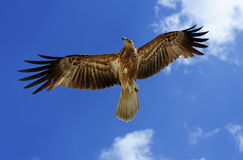 flyghökar Arkivfoton