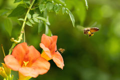 Flyghonungbiet som samlar pollen från orange Campsis radicans, blommar Royaltyfri Foto