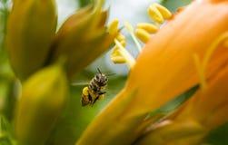 Flyghonungbiet som samlar pollen från orange Campsis radicans, blommar royaltyfria bilder