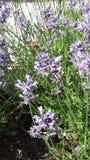 Flyghumla i blommande lavendel arkivbilder