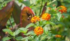Flygkolibri Hawk Moth Royaltyfria Foton