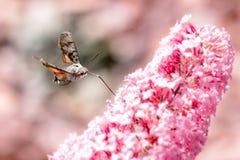 Flygkolibrihök-mal med blomman Arkivfoton