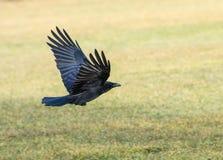Flygkräva Fotografering för Bildbyråer