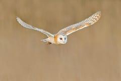 Flygladugårduggla, lös fågel i trevligt ljus för morgon Djur i naturlivsmiljön Fågellandning i gräset, handlingdjurlivplats, Royaltyfri Foto