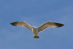 flyglake över seagull Fotografering för Bildbyråer