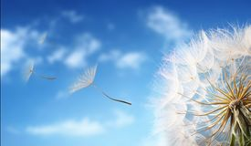 Flygmaskrosfrö i morgonsolljuset Arkivfoto
