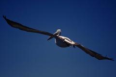 flygpelikan Arkivfoto