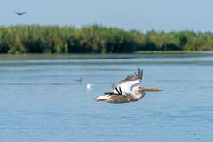 Flygpelikan i Donaudeltan, Romania1 Arkivfoton