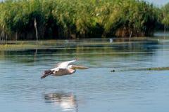 Flygpelikan i Donaudeltan, Rumänien Arkivfoton