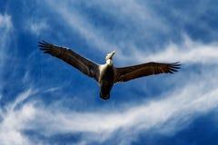 Flygpelikan i naturliga Kalifornien parkerar, USA Fotografering för Bildbyråer