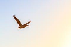 Flygpelikan på gryning Royaltyfria Bilder
