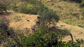 Flygrävar över den Riung mangroven arkivfilmer