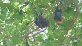 Flygräven hänger på en trädfilial och tvättar sig stock video