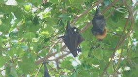 Flygräven hänger på en trädfilial och tvättar sig arkivfilmer