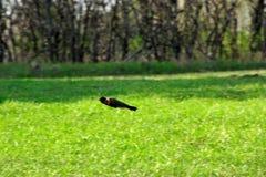 flygrobinfjäder Royaltyfri Fotografi