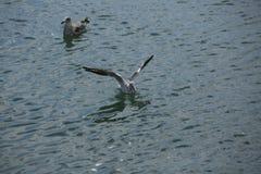 Flygseagull över en havsnärbild Fotografering för Bildbyråer