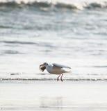 Flygseagull över havet Arkivbild