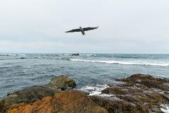 Flygseagull över okhotskoehavet Royaltyfri Fotografi