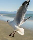FlygSeagull över stranden Arkivfoto
