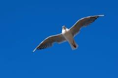 flygseagull Royaltyfri Fotografi