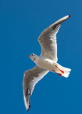 Flygseagull Arkivbilder