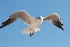 flygseagull Royaltyfria Bilder