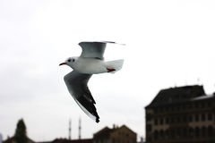 Flygseagull i en grå molnhimmel i Istanbul Arkivbild