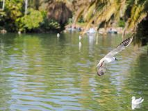 Flygseagull i parkera Royaltyfria Foton