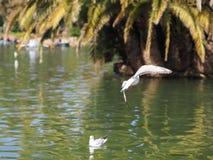 Flygseagull i parkera Arkivbilder