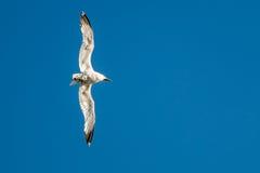 FlygSeagull -- Lämnad bank! Royaltyfria Foton