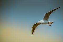 Flygseagull på bakgrund för blå himmel Arkivfoton