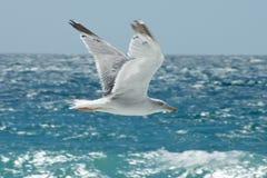 Flygseagull på bakgrunden av havet Royaltyfri Foto