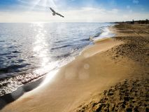 flygseagull på stranden Royaltyfri Foto