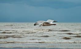 Flygseagull på stranden av Blackpool, sikt som blöter stranden och Fotografering för Bildbyråer