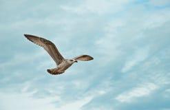 Flygseagull på stranden av Blackpool, sikt som blöter stranden och Arkivfoton