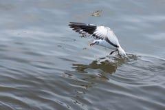 FlygSeagull som tar mat från havet på Bangpoo thailand Fotografering för Bildbyråer