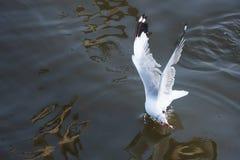FlygSeagull som tar mat från havet på Bangpoo thailand Royaltyfria Bilder