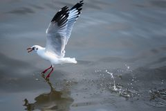 FlygSeagull som tar mat från havet på Bangpoo thailand Royaltyfri Bild